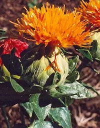 Safflower, Zanzibar (Carthamus tinctorius), packet of 30 seeds, organic