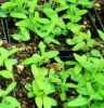 Skullcap, Baical (Scutellaria baicalensis), packet of 30 seeds, organic