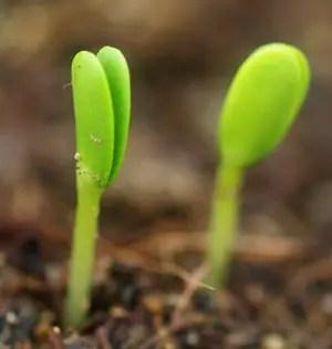 Sea Buckthorn (Hippophae rhamnoides), packet of 20 seeds