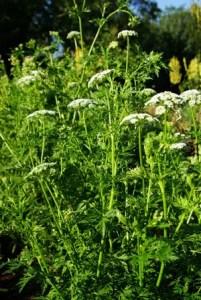 She chuang zi (Cnidium monnieri), packet of 100 seeds, organic