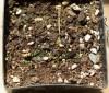 Small-Flowered-Willow-Herb (Epilobium parviflorum), packet of 100 seeds, organic