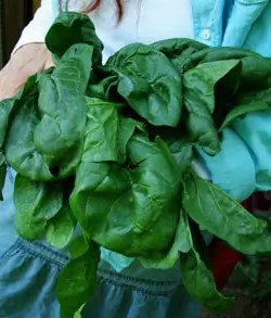 Spinach, Bloomsdale Long Standing (Spinacea oleracea), packet of 200 seeds, organic