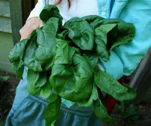 Spinach, Revolution (Spinacea oleracea), packet of 200 seeds, organic