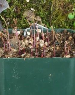 Spinach, Red Aztec (Chenopodium berlandieri) packet of 300 seeds, organic