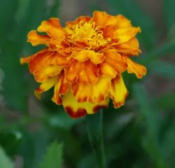 Marigold, French (Tagetes Patula), packet of 50 seeds, organic