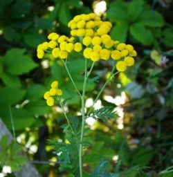 Tansy (Tanacetum vulgare), packet of 100 seeds, Organic [MT, WA, SD NO]