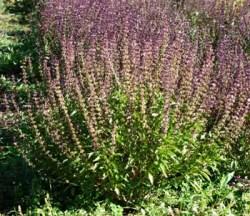 Basil, Thai (Ocimum basilicum), packet of 100 seeds, organic