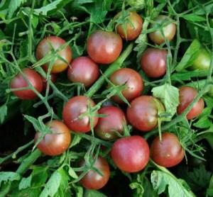 Tomato, Black Cherry (Lycopersicon esculentum), packet of 50 seeds, organic