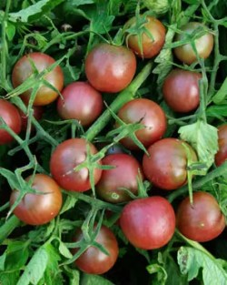 Tomato, Black Cherry (Lycopersicon esculentum), packet of 50 seeds, organic