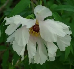 Peony, Tree (Paeonia suffriticosa), packet of 20 seeds
