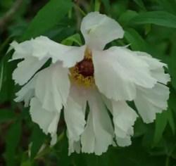 Peony, Tree (Paeonia suffriticosa), packet of 20 seeds