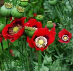 Poppy, Turkish Red (Papaver somniferum), packet of 100 seeds