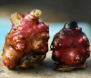 Yacon, Morado (Polymnia sonchifolia) potted plant, organic