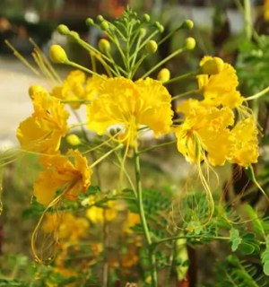 Peacock Flower, Yellow (Caesalpinia mexicana), packet of 10 seeds