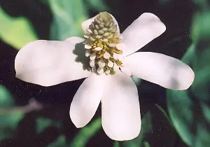 Yerba Mansa (Anemopsis californica), packet of 100 seeds