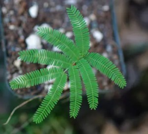 Yopo (Anadenanthera sp.), packet of 20 seeds