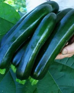 Zucchini, Midnight Lightning (Cucurbita pepo), packet of 15 seeds, organic