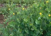 Celandine, Greater Live Root (Chelidonium majus), organic