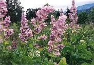 Sage, Clary (Salvia sclarea), packet of 50 seeds, organic [WA NO]