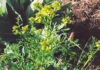 Greens, Creasy (Barbarea verna) packet of 100 seeds, organic