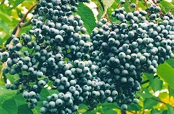Elderberry, Blue (Sambucus caerulea), packet of 50 seeds