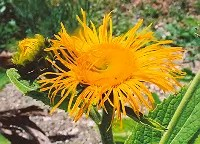 Elecampane, Magnificent (Inula magnifica), packet of 100 seeds, organic
