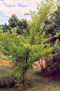 Slippery Elm (Ulmus rubra), packet of 100 seeds [Canada no]