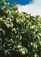 Hops (Humulus lupulus) packet of 20 seeds, organic [WA, ID NO]
