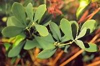 Indigo, Blue (Baptisia australis), packet of 50 seeds, organic