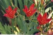 Leopard Flower (Belamcanda chinensis), packet of 20 seeds, organic