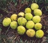 Osage Orange (Maclura pomifera), packet of 30 seeds