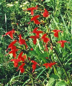 Sage, Scarlet (Salvia coccinea), packet of 200 seeds
