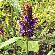 Self-Heal (Prunella vulgaris), packet of 50 seeds, organic