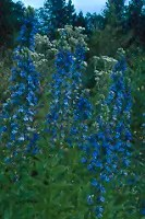 Stavesacre (Delphinium staphisagria) packet of 50 seeds, organic