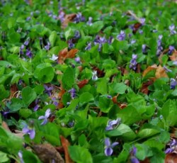 Violet, Sweet (Viola odorata), packet of 50 seeds, organic
