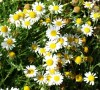 Chamomile, Roman (Chamaemelum nobile), packet of 300 seeds, organic