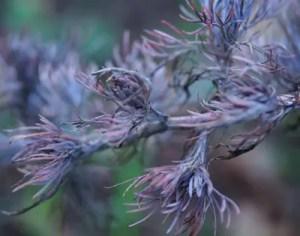 Wormwood, Redstem (Artemisia scoparia), potted plant, organic