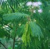 Mimosa (Albizia julibrissin), potted tree, Organic