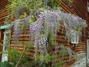 Wisteria, Chinese (Wisteria sinensis) potted plant, organic