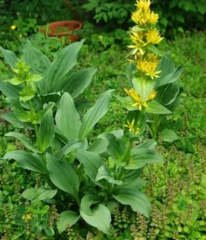 Gentian, Yellow (Gentiana lutea), potted plant, organic