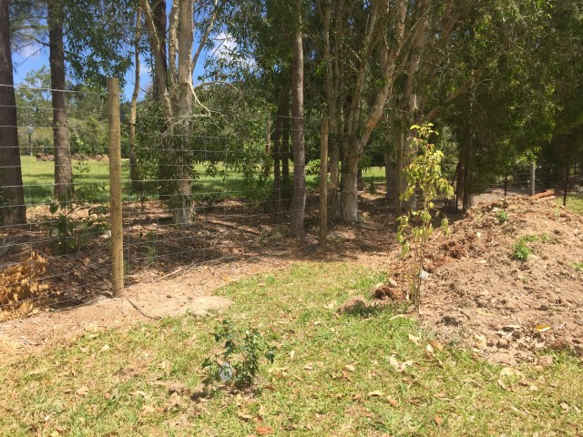 Two of the newly planted out trees, and a view of the new fencing.