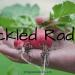 Pickled Radish