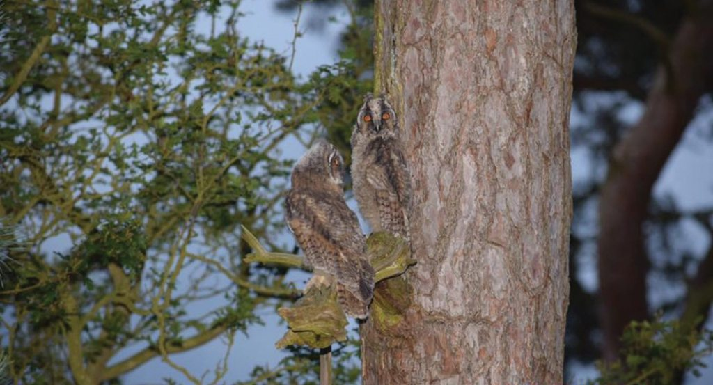 Young long-eared owls at Sleaford Golf Course