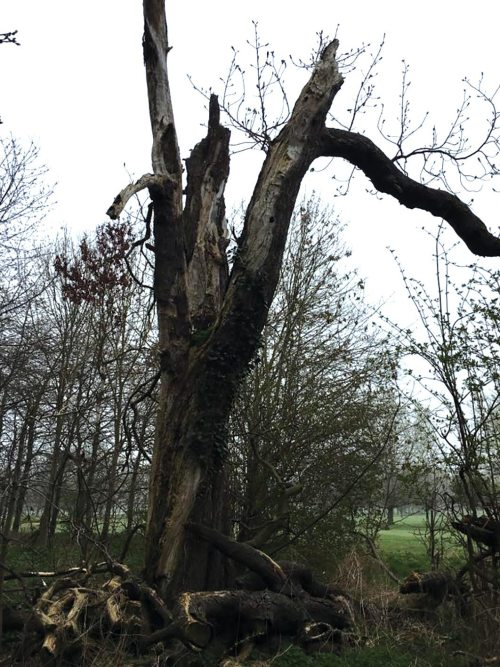 Standing deadwood at Burghley Park Golf Club