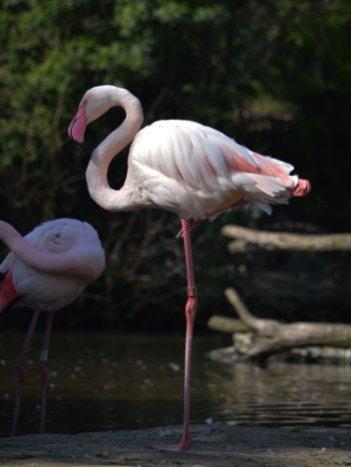 Europese Flamingo