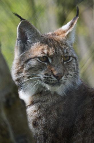 Europese Lynx