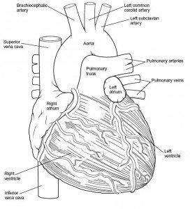 Сердце: вид спереди