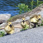 Baby Geese at Mount Williams Reservoir