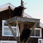 Bears Climbing on Stand