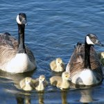 A family of geese with babies in the water